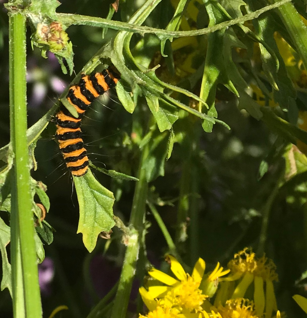 cinnabar catterpillar on ragwort